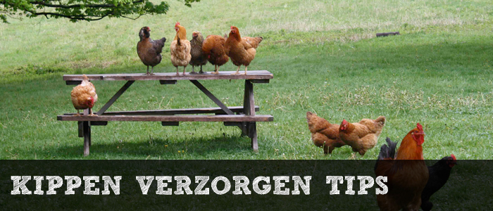 Kippen verzorgen tips banner