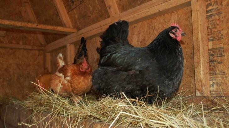 Reinigen en ontsmetten van kippenhok